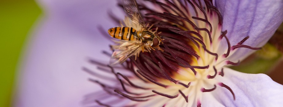 Clematis & Hover Fly macro