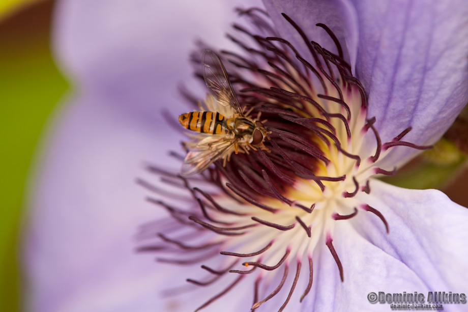 Hover Fly on clematis - macro