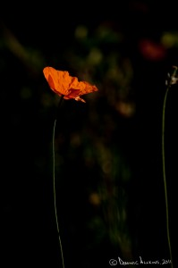 14.4 - Backlit poppy - Shot on a Sony DSLR-A900 at ISO200, f/6.3, 1/2000 sec at 160mm